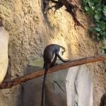 Dianameerkatzen