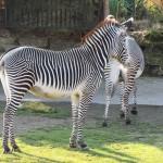 Grevy Zebra