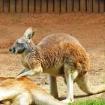 Massage bei den Känguruhs