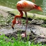 Flamingo auf dem Nest