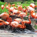 brütende Flamingos
